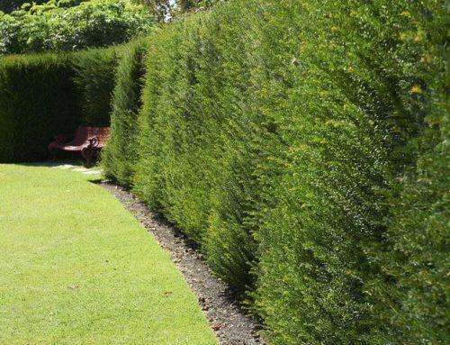 Vždy zelené živé ploty – ideálne pre oplotenie